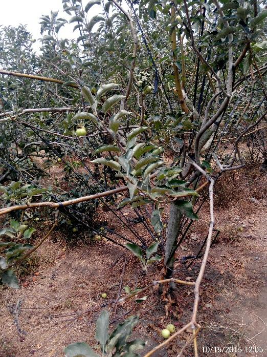 tali kekang pohon apel